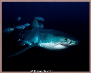 Great white with mates by Dave Baxter